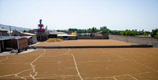 آذرشهر قطب تولید لپه کشور