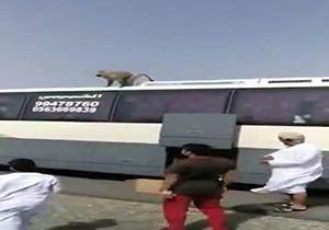 حمله میمونها به کاروان عمره گذاران عمانی + فیلم