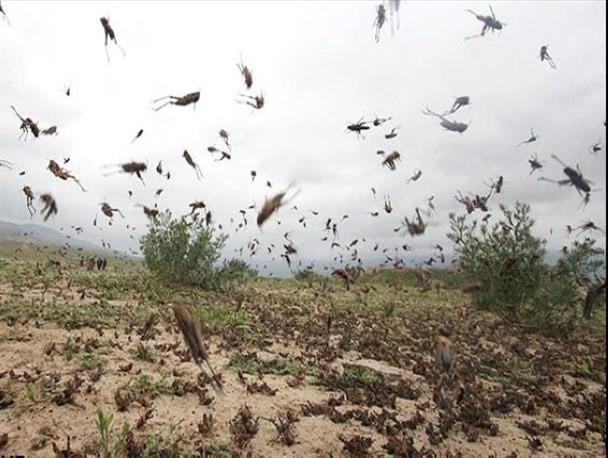 خشکسالی عامل هجوم ملخ های صحرایی به جنوب کشور بود