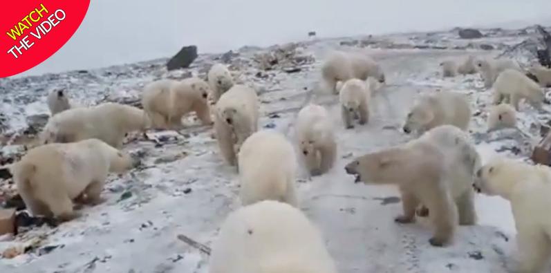 هجوم خرسهای قطبی به منطقهای در روسیه! + فیلم