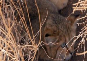 یک قلاده گربه شنی در منطقه حفاظت شده سیاه کوه اردکان مشاهده شد