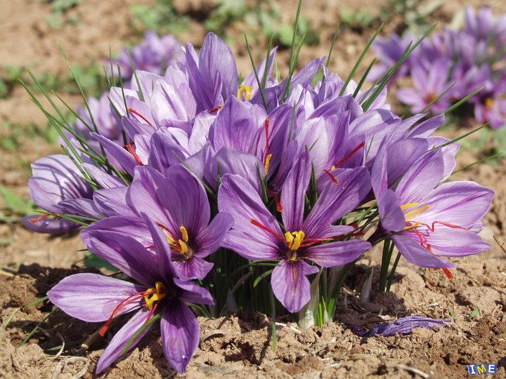قیمتهای تضمینی زعفران باید متصل به نرخ ارز باشد/صادرات ۱۰ برابری زعفران