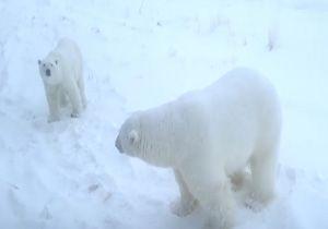 کوچ خرسهای قطبی به یک روستا در روسیه + فیلم