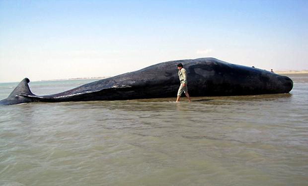 کشتی ها مهمترین عامل تلفات نهنگ ها هستند