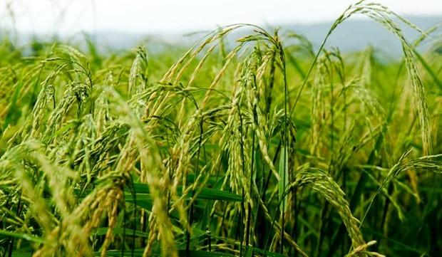 تولید و توزیع بذر گواهی شده ۳ رقم بومی برنج در گیلان