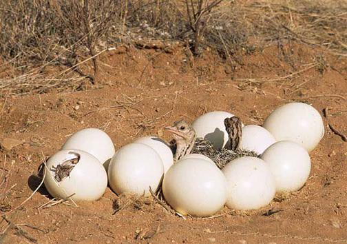 فارس بزرگترین زنجیره تولید شتر مرغ در کشور