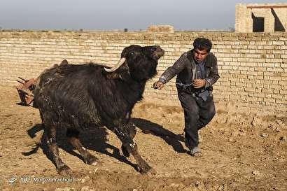 باشگاه خبرنگاران -واکسیناسیون تب برفکی در روستای سید حسن الهایی