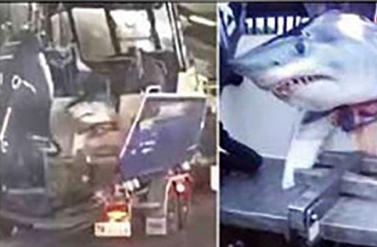 مرد ماهیگیر با  کوسه ۱۶۵ کیلوگرمی در اتوبان رانندگی کرد