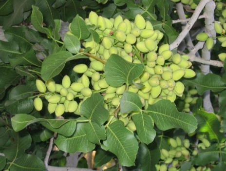 تولید انواع گیاهان دارویی در لارستان