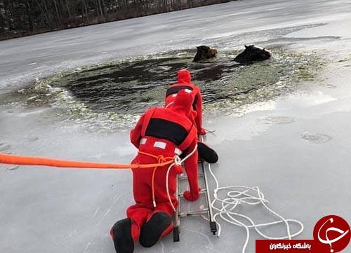 اسب های چموشی که تا مرز یخ زدگی رفتند+فیلم و تصاویر