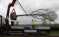 در مسیر پروژه تقاطع غیرهمسطح سرابله ۲۰۰ اصله درخت بلوط جابجا شد