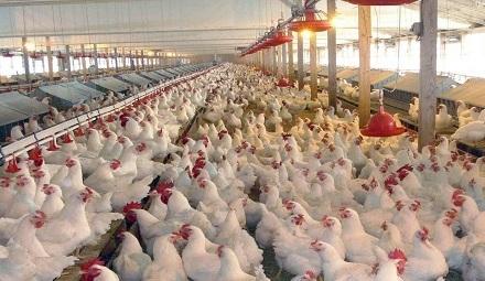 افتتاح بزرگترین مزرعه مرغ مادر تخمگذار کشور در زنجان