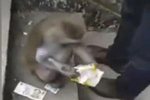 میمون سارق برای یافتن غذا جیب مردم را خالی میکند! +فیلم