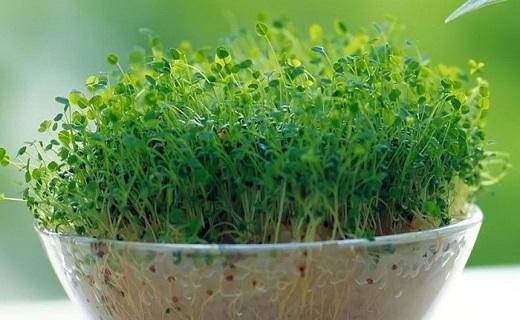 سبزه هفتسین ۹۸ را خودتان آماده کنید/ چگونه سبزه عید را درست کنیم؟