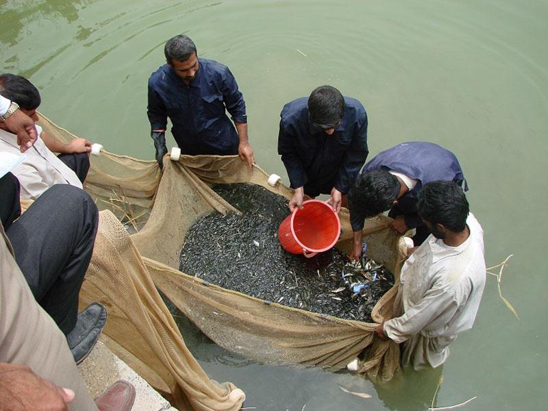 سیستان و بلوچستان قطب تامین بچه ماهی شرق کشور میشود