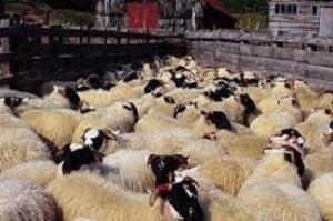 ۵۰ هزار راس گوسفند وارد از طریق کشتی کشور شد/ادامه واردات تا تعادل بازار