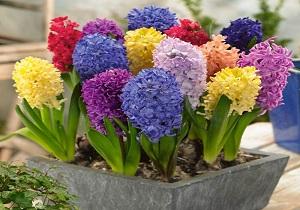 قیمت گل سنبل به ۳۵ هزار تومان رسید/ ۵۰ درصد پیاز گل سنبل گل نداد