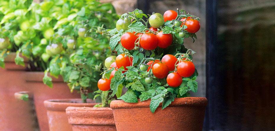 گوجه گیلاسی خانگی بکارید