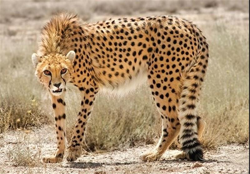 حفاظت از یوزپلنگ ایرانی در منطقه عباس آباد نایین