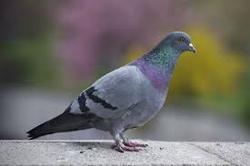قیمت این کبوتر فقط ۱۴۰۰۰۰۰۰۰۰۰ تومان است! + تصاویر