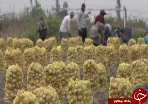 نبود الگوی کشت و قیمت تضمینی مناسب سیب زمینی / سیب زمینی کاران گلستانی با نگرانی به سراغ کشت میروند