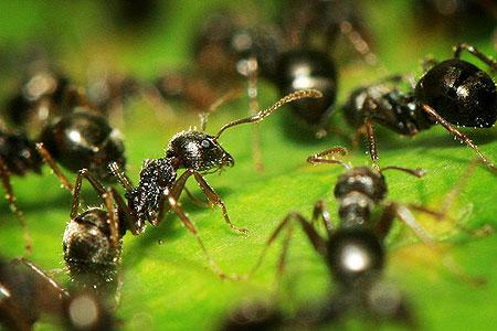 مورچه انتحاری در جنوب شرقی آسیا کشف شد