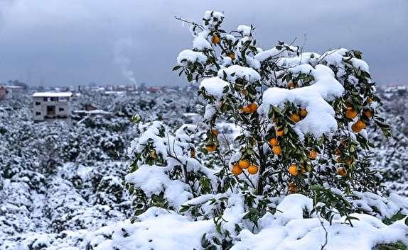 باشگاه خبرنگاران -خسارت بارش برف و باران به 20 هزار هکتار از باغات سمنان