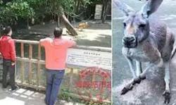حماقت گردشگران، مرگ دردناک کانگوروی باغ وحش را رقم زد! +فیلم