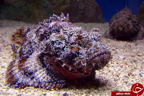 با سمی ترین ماهی دنیا آشنا شوید+تصاویر