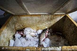 بازرسی گشت تعزیرات از واحد های صنفی مرغ و ماهی