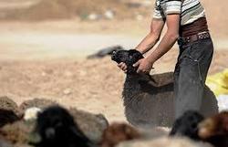 باند سرقت احشام در تایباد متلاشی شد