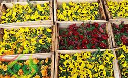 کاشت ۵ میلیون گل تابستانه در ۸۴۵ نقطه از شهر