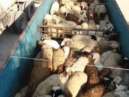 کشف 187 راس گوسفند قاچاق در بردسکن