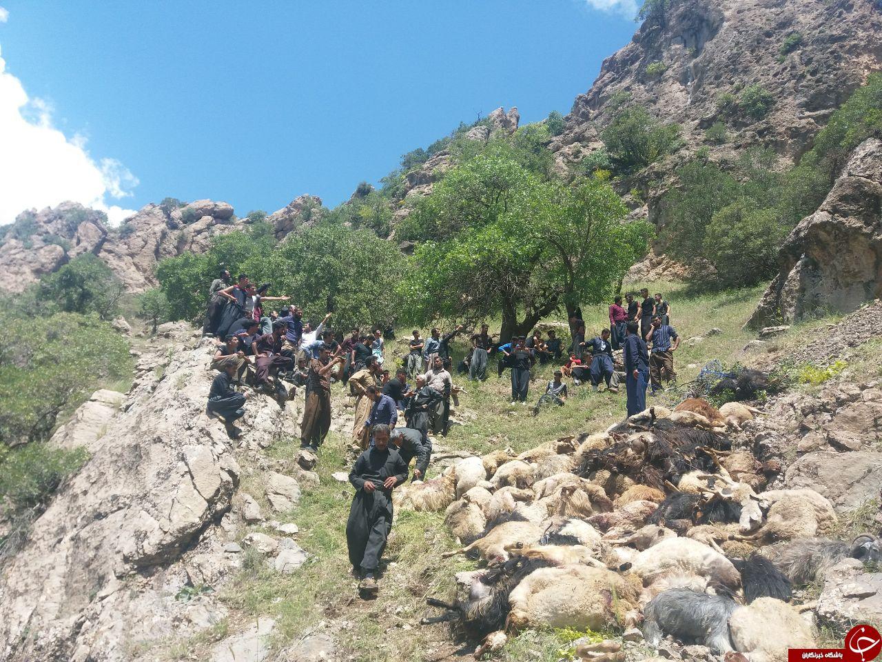 آخرین جزییات از حمله پلنگان به گله گوسفندان در ثلاث باباجانی