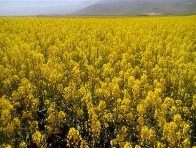 قیمت خرید تضمینی هر کیلو کلزا در استان زنجان 2 هزار و 866 تومان اعلام شد
