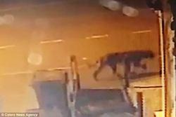 وحشت زن میانسال با دیدن حیوانی شبیه به شیر در خیابان! +فیلم
