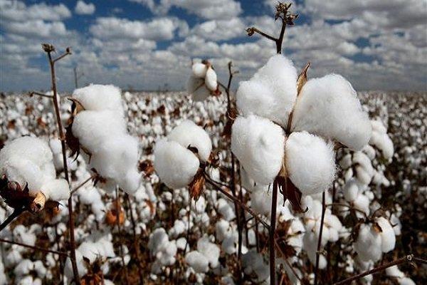 خودکفایی تولید طلای سفید تا افق 1404/ قاچاق پوشاک ضربه مهلکی به تولید پنبه وارد می کند