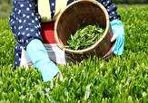 باشگاه خبرنگاران -خرید تضمینی برگ سبز چای از 38 هزارتن فراتر رفت