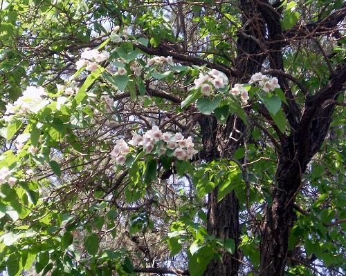 نحوه کاشت، تکثیر، پرورش و مراقبت پالونیا. مشخصات ظاهری و کاربردهای درخت پالونیا. pdf طرح توجیهی و کتاب آموزش کاشت درخت پالونیا. درباره پالونیا