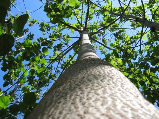 پالونیا درختی که به داد شهروندان تهرانی می رسد / قاتل سفید بالک به زودی در پایتخت