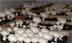 باشگاه خبرنگاران -تولید سالانه ۱۵۰ هزارتن قارچ در کشور/مردم قارچ های خوراکی را از مراکز معتبر خریداری کنند