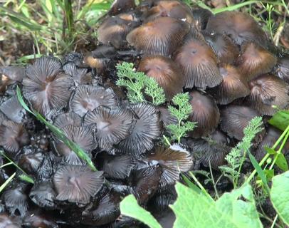 قارچ خورها مراقب باشند/ خطر مرگ در کمین قارچ خورها