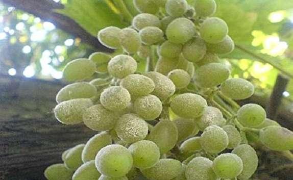 باشگاه خبرنگاران -مشاهده سفیدک انگور در ۸۰ هکتار از باغات خراسان شمالی