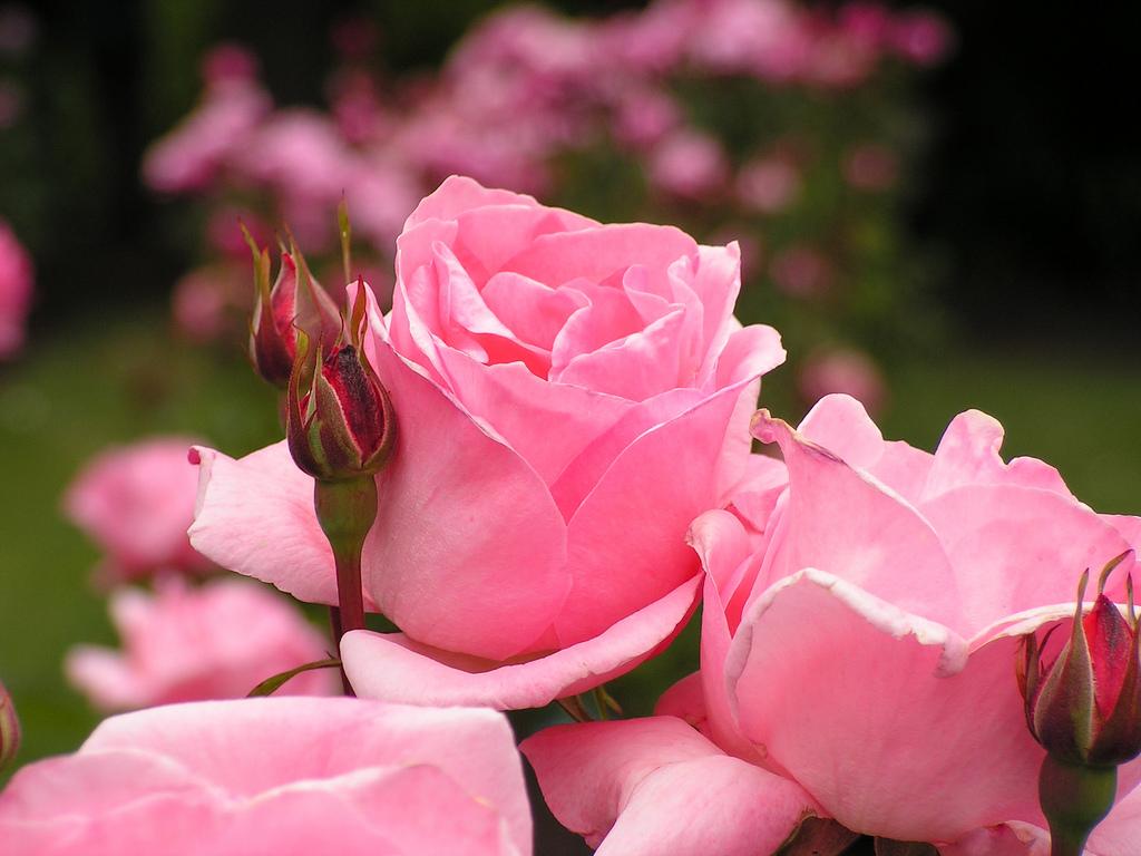 خواص شگفت انگیز درمانی گل سرخ