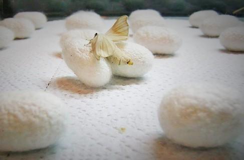 گیلان قطب تولید پیلهتر ابریشم در کشور