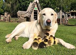 فرد پدرخوانده 9 جوجه اردک+ فیلم