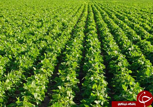 نابودی بخش کشاورزی گلستان با کشت شالی / کشت شالی خطری جدی برای گلستان و تبدیل شدن آن به بیابان است