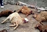 باشگاه خبرنگاران - گرگها به گله دامدار پلدختری حمله کردند
