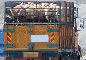 213 راس گوسفند قاچاق در کبودراهنگ کشف شد