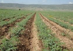 خسارت بی سابقه بیماری برق زدگی نخود به مزارع